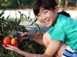 A photograph of a girl picking red tomatoes in a garden.